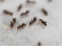 梦见蚂蚁搬家是什么意思?周公解梦大全查询免费